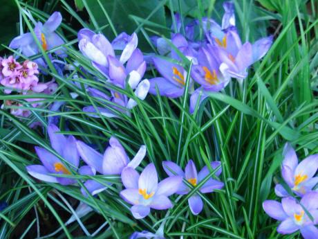 Кроркусы весенние цветы...