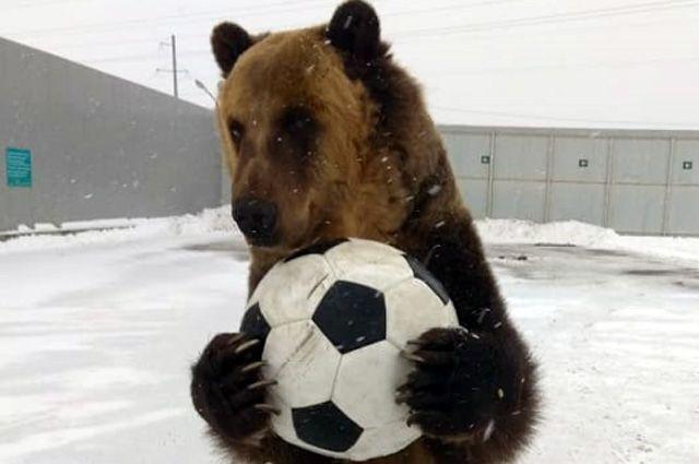 Наши и медведь. Как бурый ми…