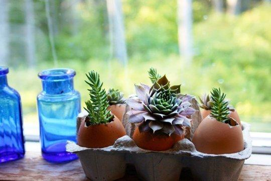 Как выращивать суккуленты в яичной скорлупе