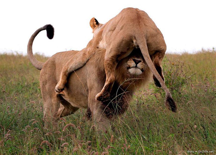 Львы делают секс где девушка спит прощения