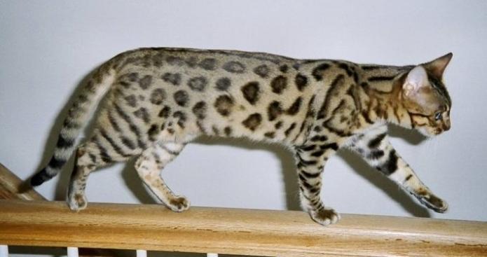 Cheetoh-Cat2