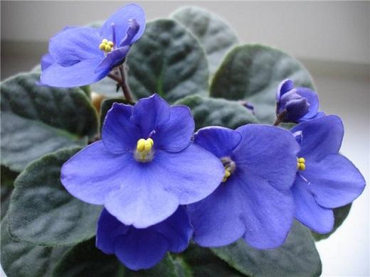 Любимые цветы в доме - фиалки