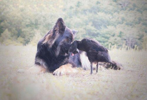 Неожиданная дружба между собакой и уткой в очаровательных фотографиях