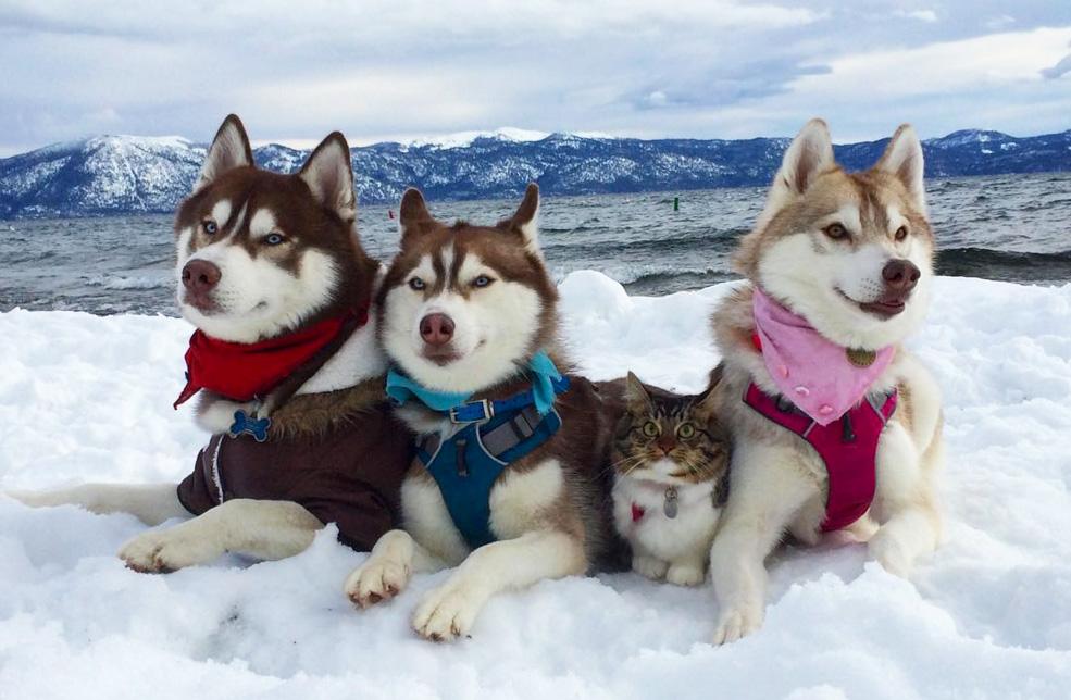 3 хаски стали лучшими друзьями котенка после его спасения