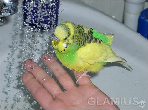 Уходу за волнистыми попугайчиками в домашних условиях