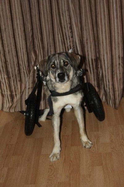 В Ярославле собака, сломавшая позвоночник, теперь передвигается на инвалидной коляске.