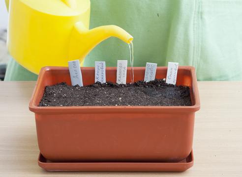 бархатцы, выращивание рассады, полив посевов