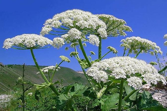 Борщевик Сосновского и еще несколько красивых ядовитых растений, которые могут мирно жить у вас на даче