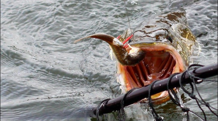 кулик ловит рыбу