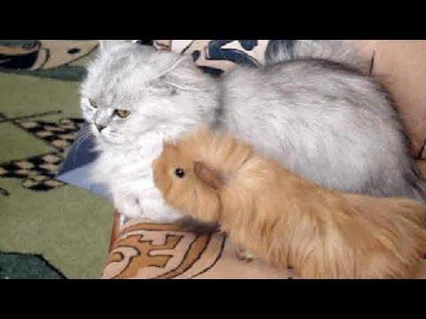 Коварный свин напал на кота.