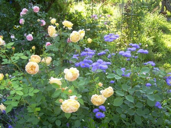 Розы... Они сводят меня с ума!