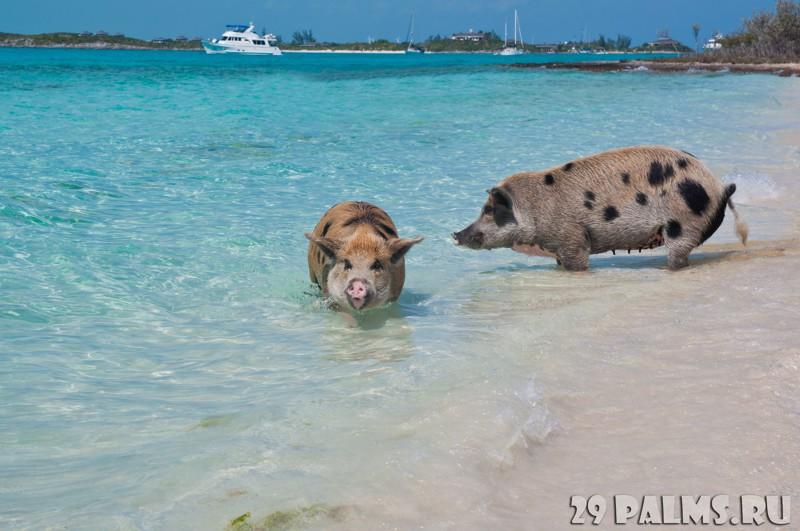 Свинья за бортом!