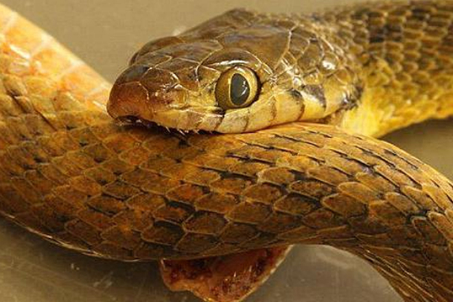 Змея сошла с ума и укусила сама себя: видео