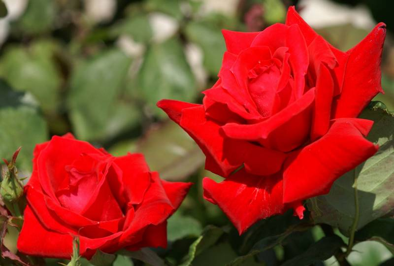 Фото цветов алой розы