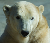 Голодные белые медведи навестили жителей Чукотки