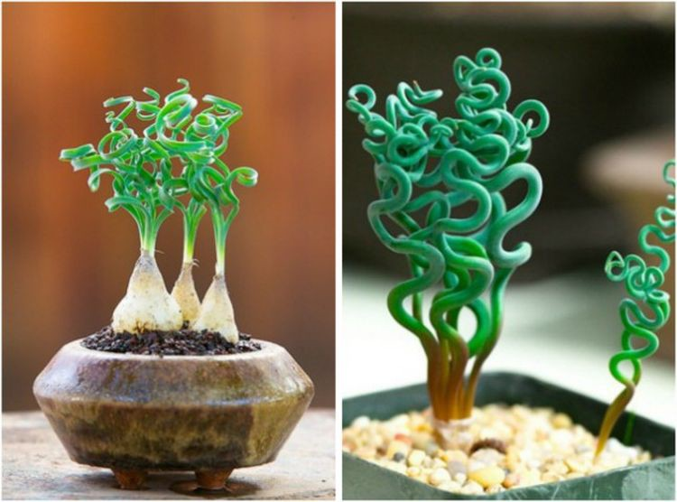1. Трахиандра дом, растения