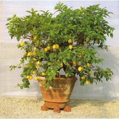 Декоративно-плодовые растения дома