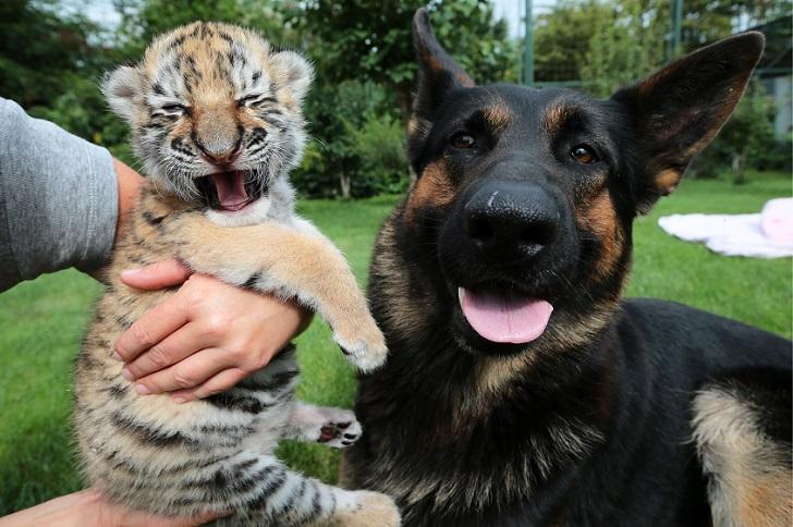 Тигренка, от которого отказалась мать, растят собаки