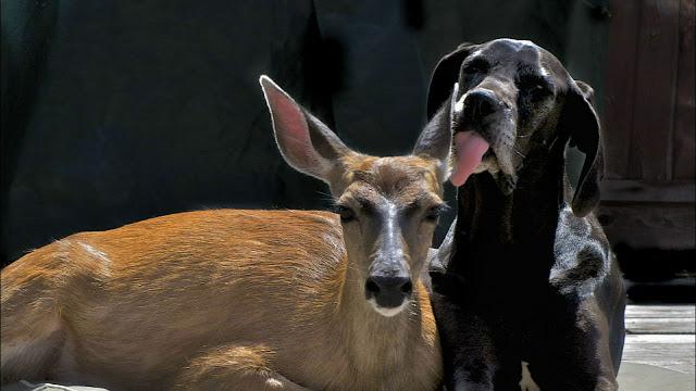 Необычная дружба собаки с оленем покорила пользователей сети.