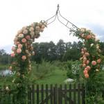 """Роза """"Alchymist"""" над воротами"""