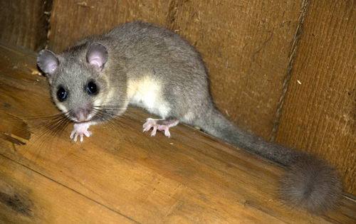 В следующую научную экспедицию в космос полетят мыши-сони