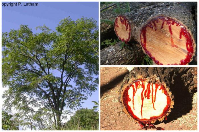 Дерево получило свое название из-за смолы красно-алого цвета, которая начинает сочиться при малейшем надрезе.