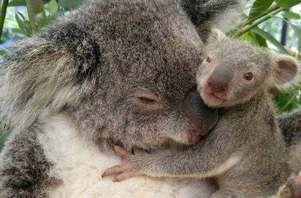 В Австралии спасли новорожденную коалу, пересадив ее к суррогатной матери