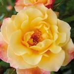 "Роза ""Moonlight"" цветок"