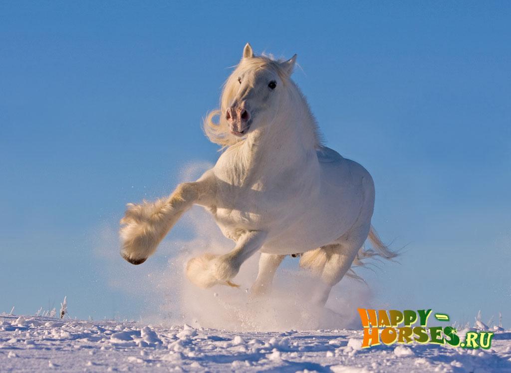 А вы видели когда-нибудь это чудо на земле? Шайры — самые крупные лошади на планете