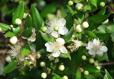 Мирт - цветение