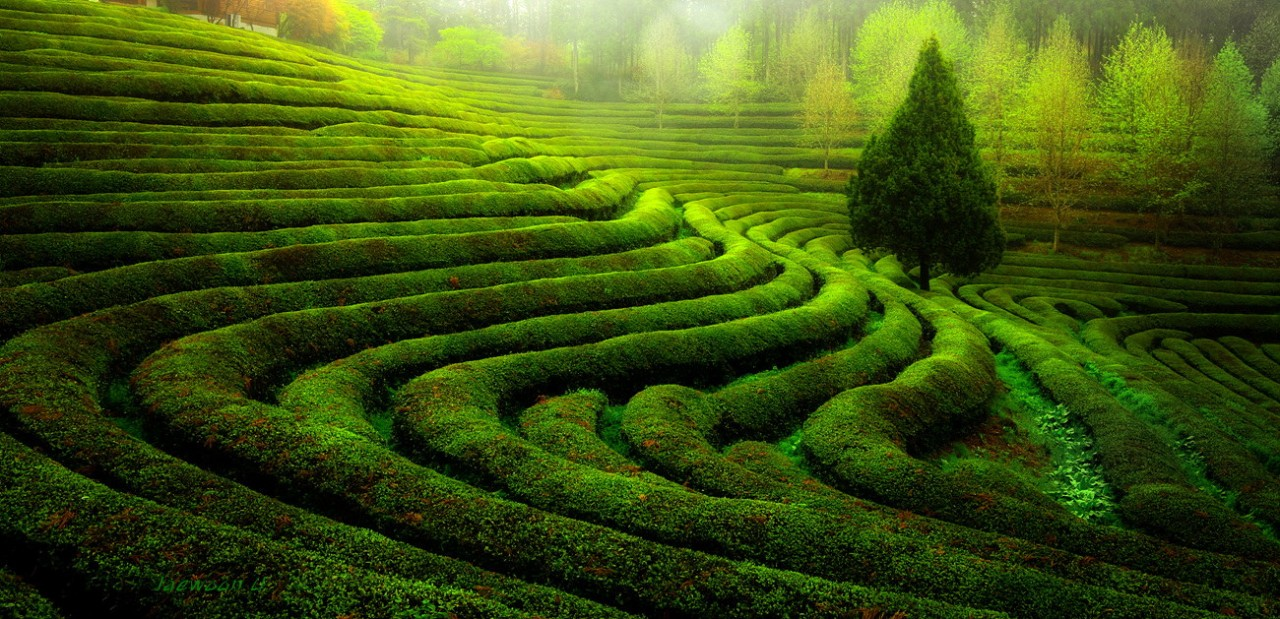 Фотография Green tea field автор Jaewoon U на 500px