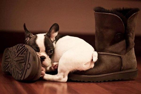 знали том, собака спит на обуви этом