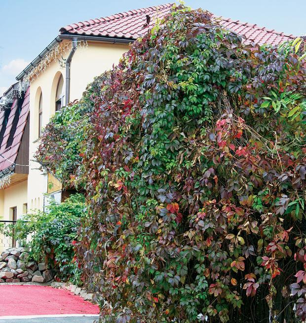Вьющиеся растения: сажать ли лианы возле дома?