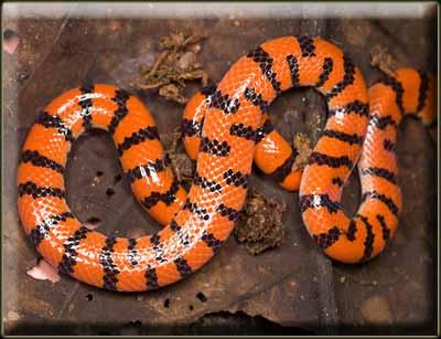 ЗМЕИ.Вальковатые змеи