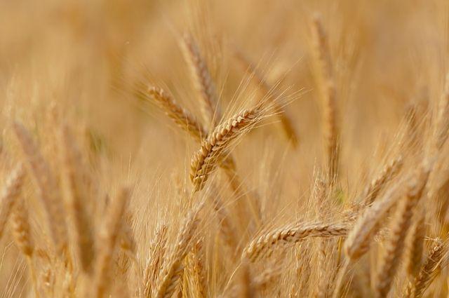 СМИ: рекордный экспорт российской пшеницы угрожает американским фермерам