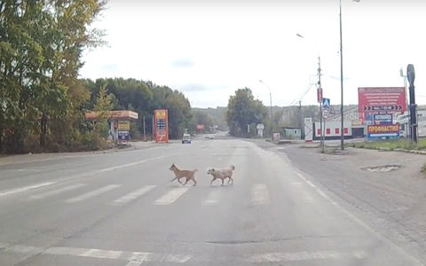 Даже собаки ждут зеленого! В отличие от некоторых двуногих
