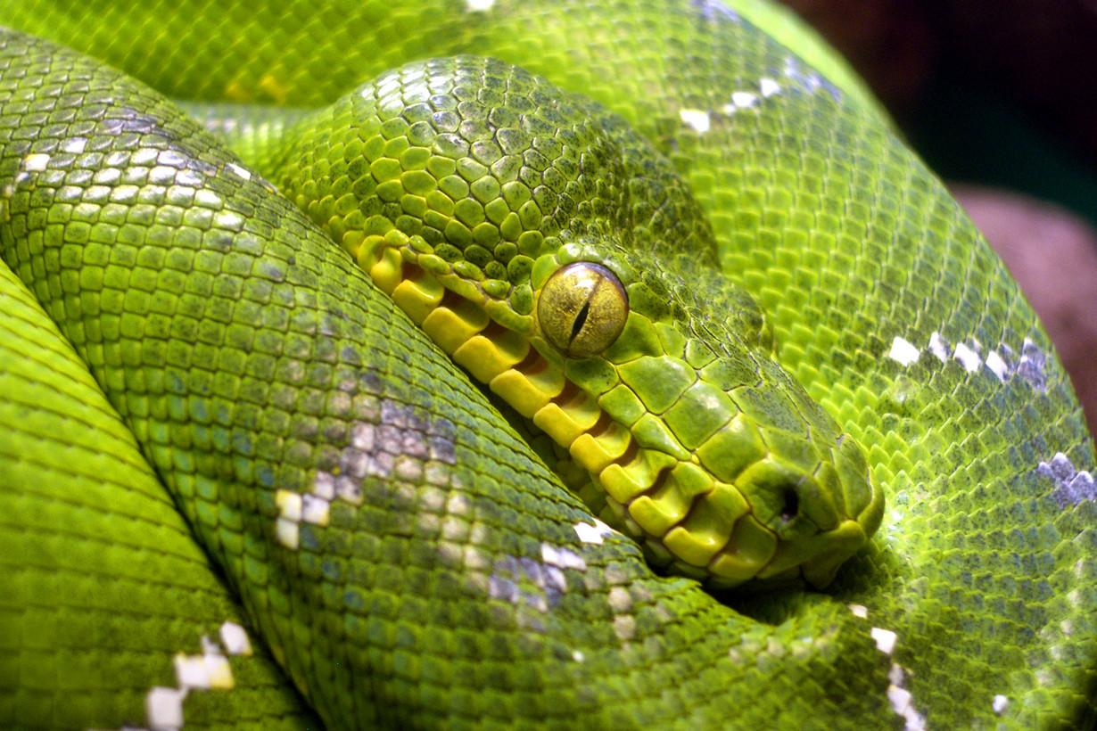 3. Собакоголовый удав в мире, змея, красота