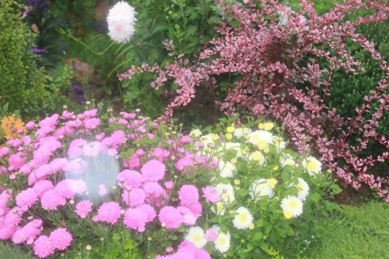 Хризантема фото цветов в саду