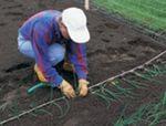 Выращивание лука рассадой. Лук через рассаду. INOFERMER.RU