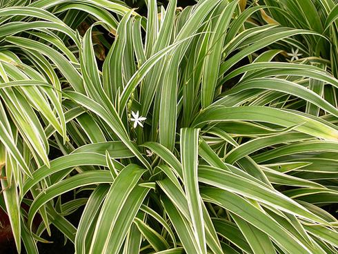 http://happyflora.ru/files/kart/Chlorophytum/Chlorophytum%20bichettii.jpg