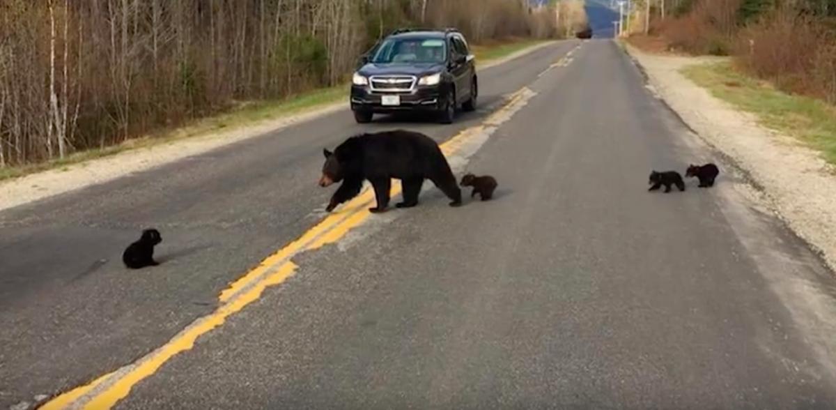 Полицейские хотели помочь семье медведей перейти дорогу. В результате люди спасли жизнь медвежонку
