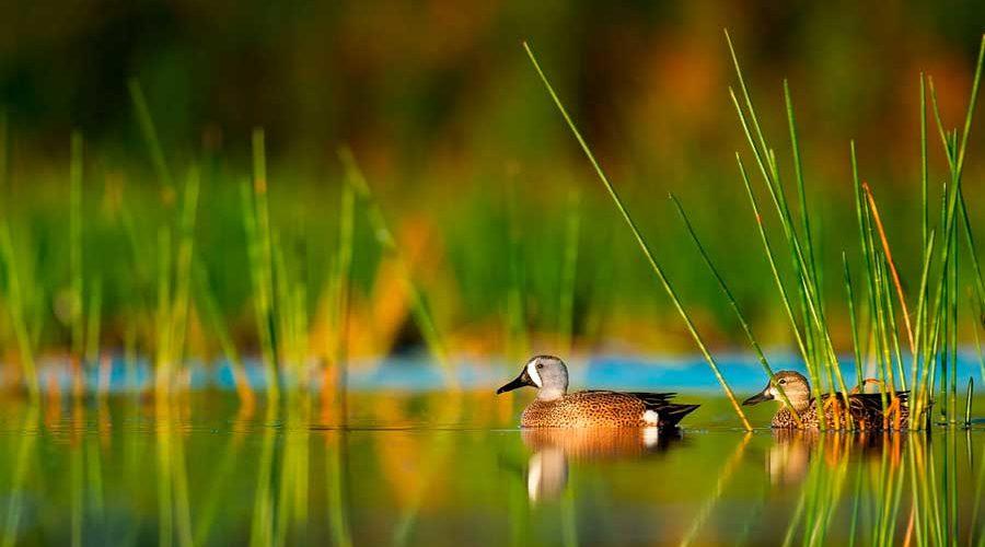 Водоплавающие птицы: описание, представители и фото