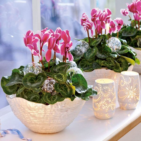 Цветущие комнатные растения неприхотливые фото