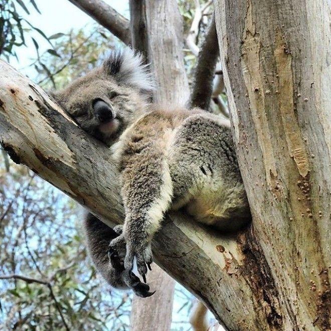 Австралийские животные, которые убивают своей милотой австралия, животные, милота