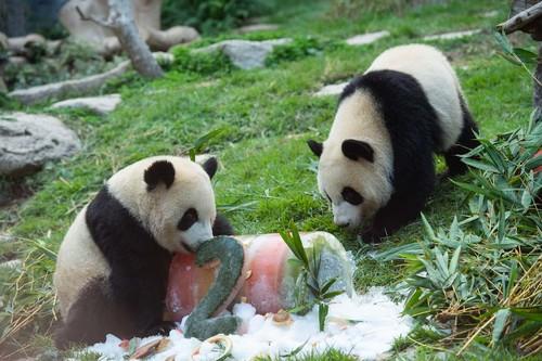 "В шотландском зоопарке ""бастуют"" панды"