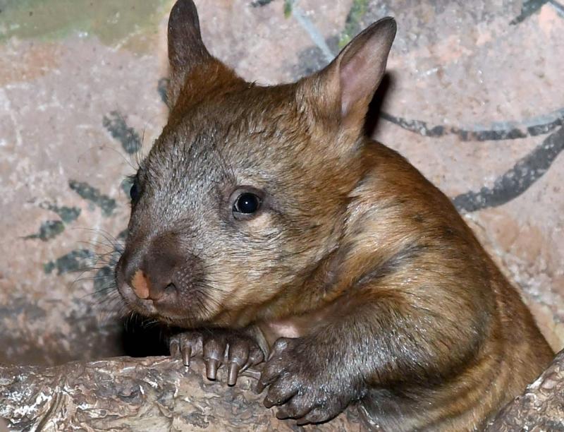 В зоопарке Брукфилда родился детеныш редкого южного шерстоносого вомбата