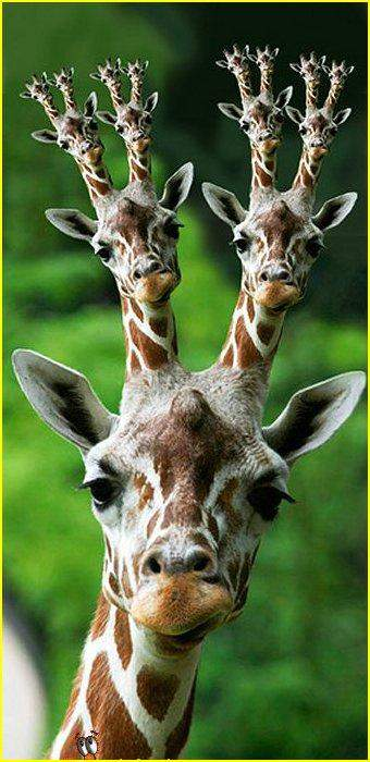 картинки с жирафами смешные