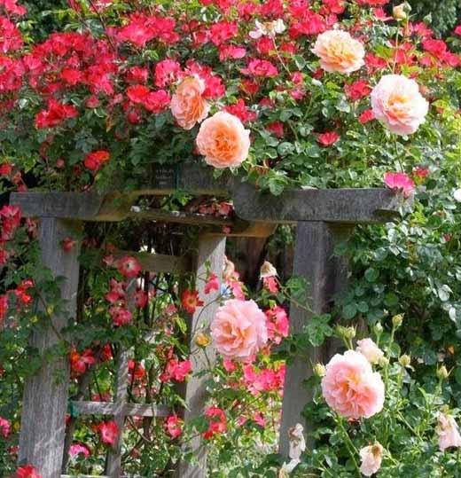плетистая роза опора