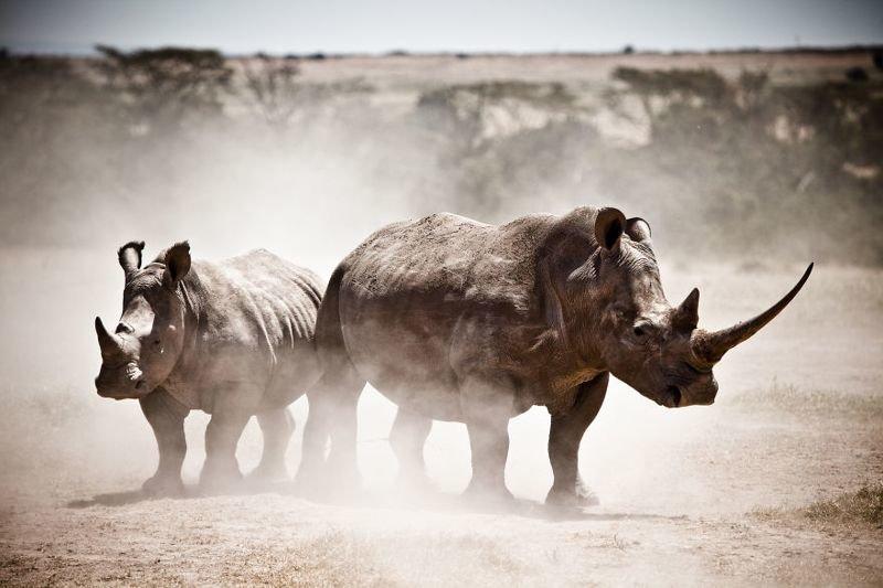 Белые носороги в Кении животные, искусство, планета земля, природа, фото, хрупкость