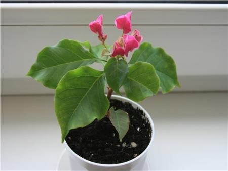 Выращивание бугенвиллии из семян в домашних условиях 41